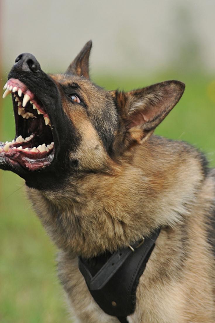Evil Aggressive Dog Germanshepherd German Shepherd Dogs German Shepherd Aggressive Dog