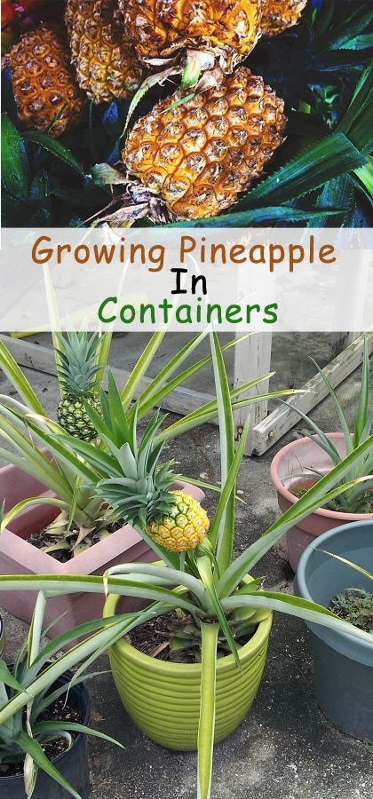 Best Ideas To Grow Fruit Trees In Containers Growing Fruits In Container Growing Pineapple Fruit Trees In Containers Fruit Garden