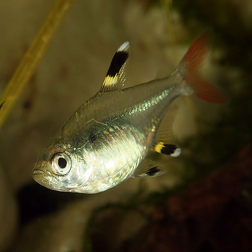 Pin By Lee Mckee On The Animal Kingdom Posts By Judye Tetra Fish Rare Albino Animals Spotted Animals