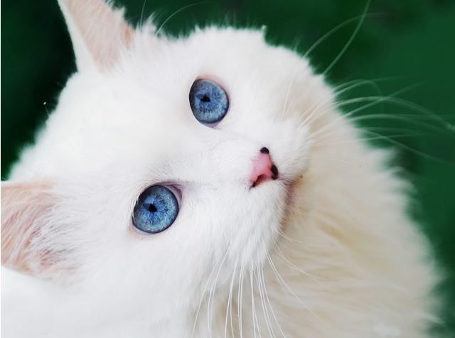 صور قطط 2017 باقة مختارة من أروع و أجمل القطط مع خلفيات قطط Hd Angora Cats Cat With Blue Eyes Pretty Cats