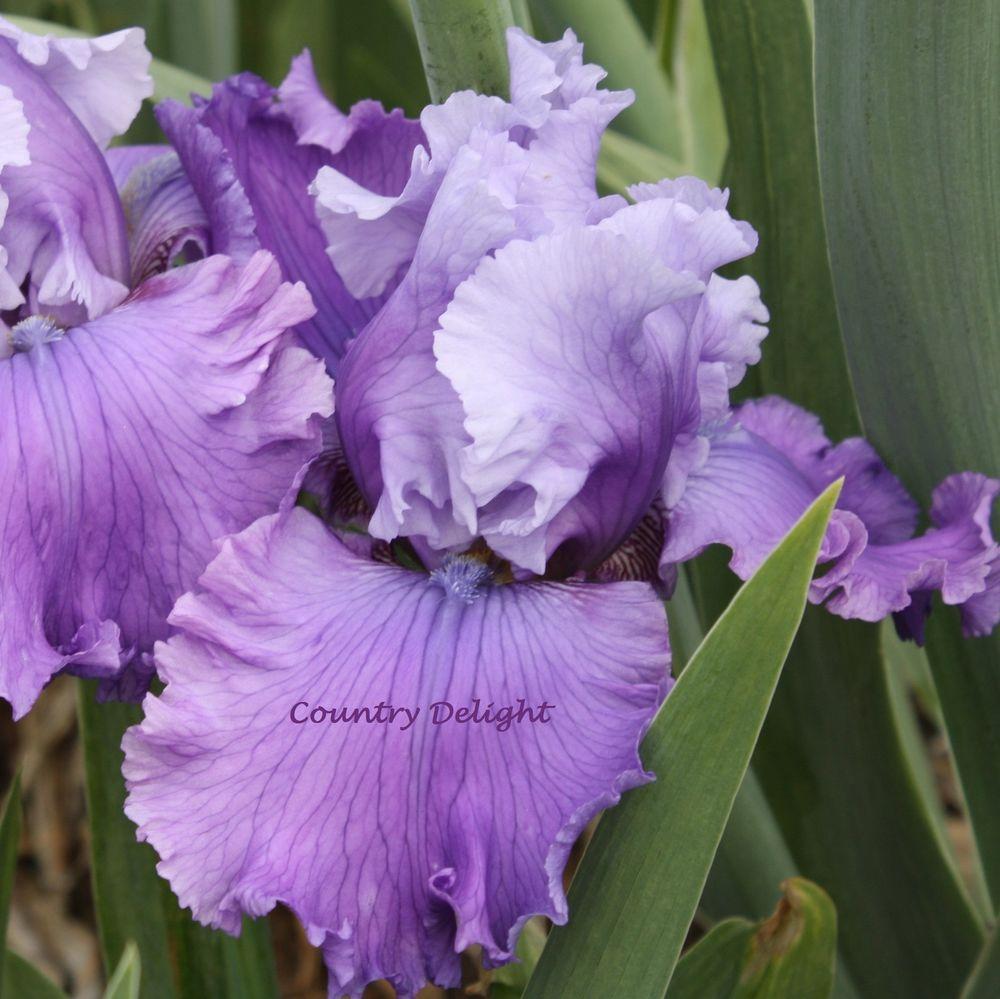 LOOPTY LOO Tall Bearded Iris SHIPPED IN JULY Bearded