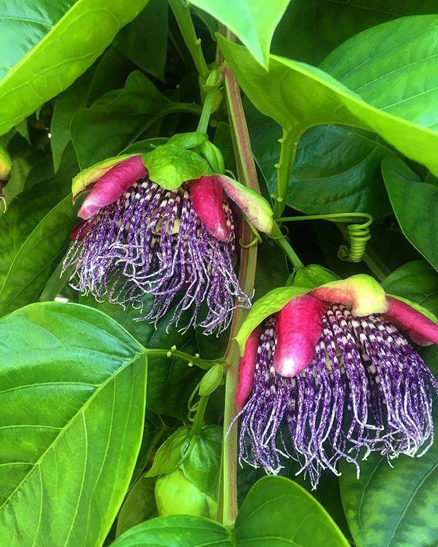 #passiflora 'Purple Tiger' #backinstock #tropicalvibes #availablenow