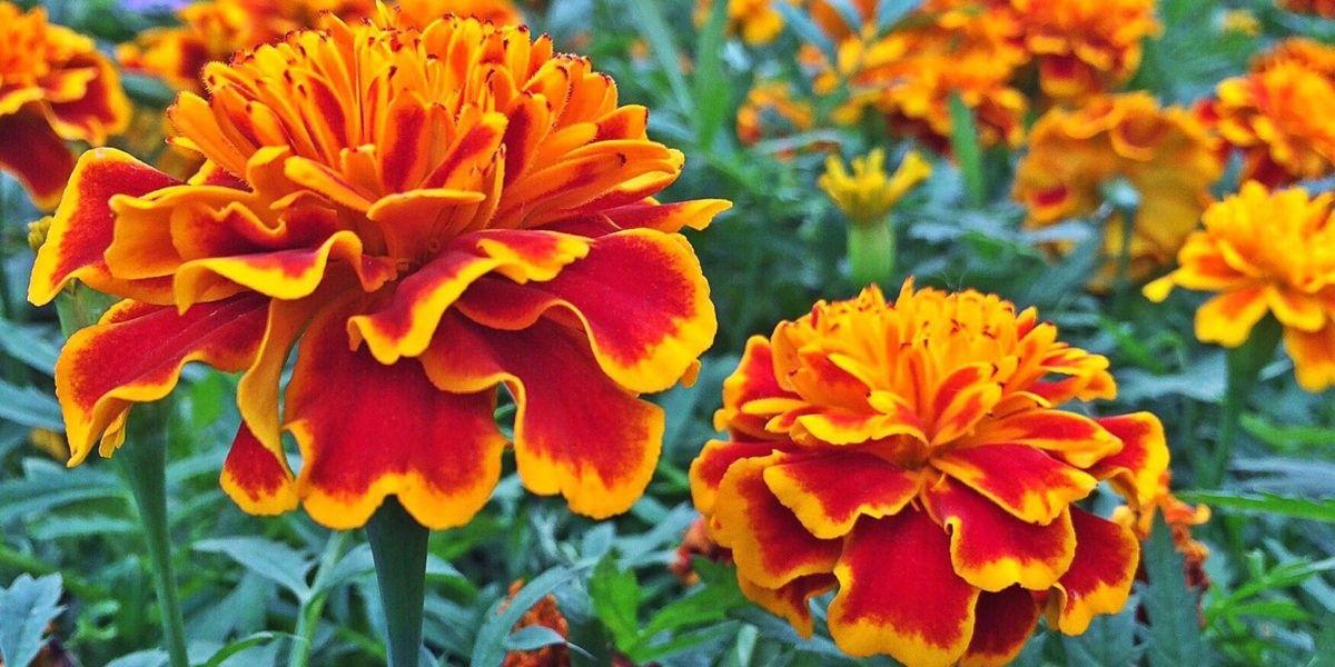 Des légumes et des plantes pour éloigner certains nocifs