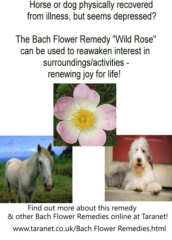 Wild Rose Why This Bach Flower Remedy Might Be Useful For Your