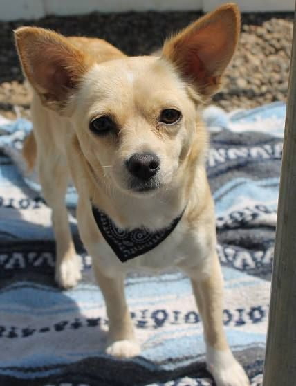 Shelter Staff Dog Found Kennel Name Alki Breed Chihuahua Cross