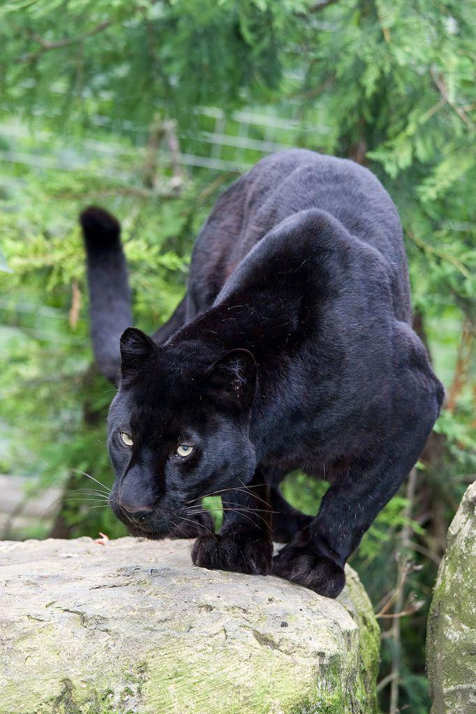 "funkysafari: "" Black leopard by [ Greg ] """