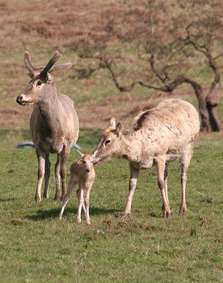 Animal A Day !: cervos de Pere David