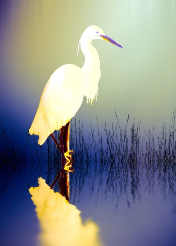 Egret in amethyst  Egret in amethyst Gallery quality print on thick 45cm / 32cm metal plate. Each Displate print verified by the Production Master. Signature and hologram added to the back of each plate for added authenticity & collectors value. Magnetic mounting system included.  EUR 48.00  Meer informatie