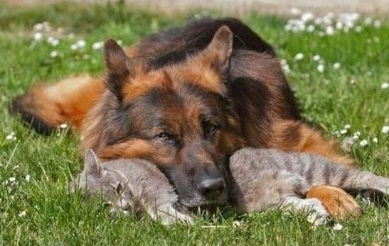 Cat Dog Love Dog Best Friend German Shepherd Pictures Kitten