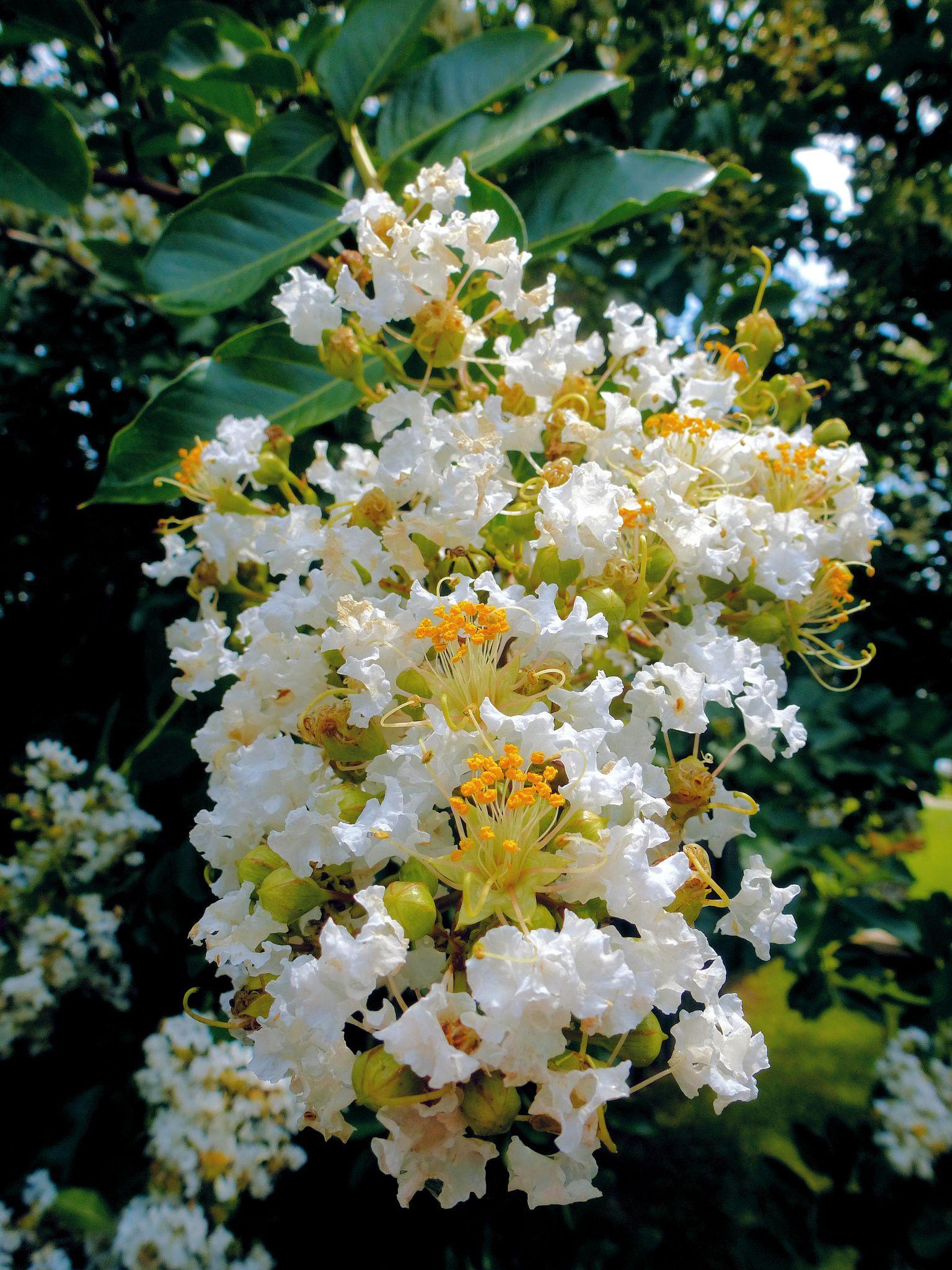 Crepe Myrtle White White Crepe Myrtle Blossoms Flowers