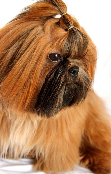 Cute Top Knot Four Legs Pinterest Shih Tzu Dogs And Puppies
