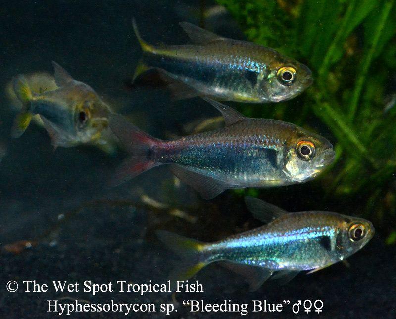 Bleeding blue tetra hyphessobrycon sp tetras for Fish and more pet store