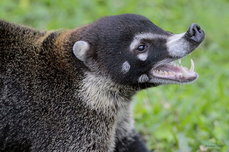 Image result for coatimundi teeth