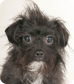 1 14 14 Still Available Chicago Il Maltese Poodle Toy Or Tea Cup Mix Meet Tweety A Dog For Adoption Very Small Dogs Pets Dog Adoption