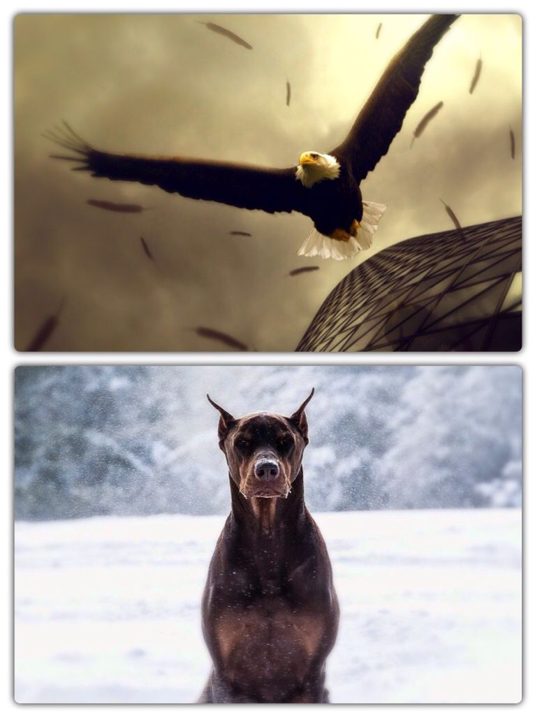 BETTER OR WORSE?  Which animal looks more badass? Eagle OR Snow Dog?