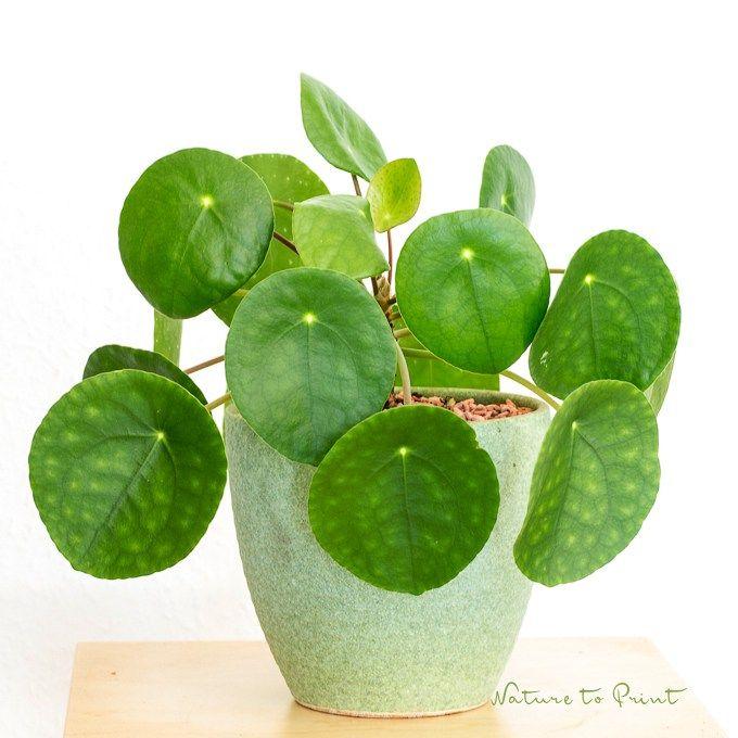 ufopflanze gl ckstale pilea peperomiodes eine robuste zimmerpflanze die laufend nachwuchs. Black Bedroom Furniture Sets. Home Design Ideas