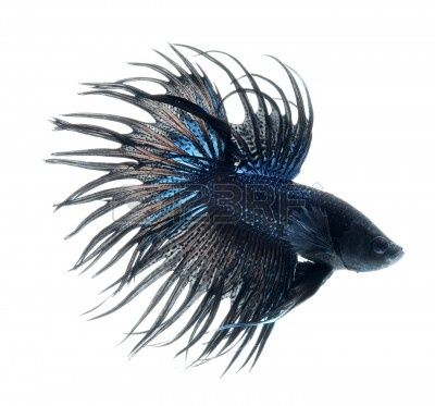 Mascotas.pez betta
