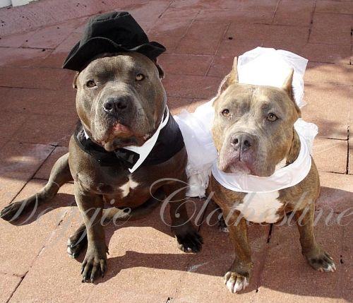 Wedding Dogs. Find wedding attire for dogs- http://www.doggieclothesline.com/wedding