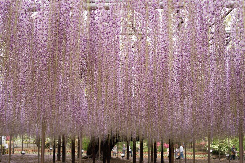 The 100 Year Old Wisteria At Japan S Ashikaga Flower Park Is Incredible Ashikaga Wisteria Japan