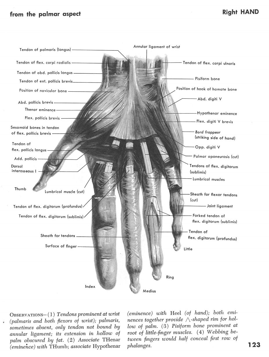 Right Hand Muscles 2 | Anatomy | Pinterest | Anatomy