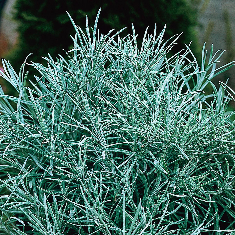 Helichrysum Thianschanicum Icicles Licorice Plant Licorice