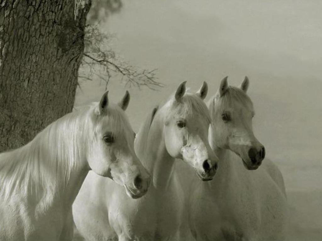 Free Arabian Horses Wallpaper Download The Free Arabian