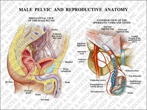 Male Pelvic Anatomy Sa Medical Graphics Pinterest Anatomy And