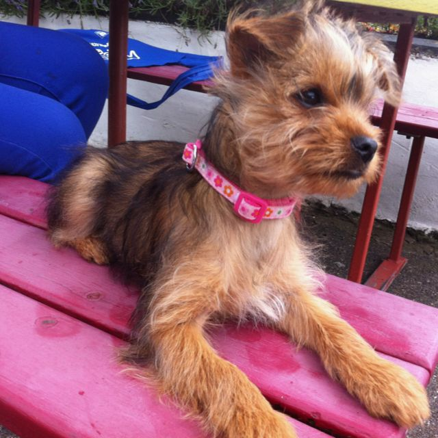 Milly A 3 Month Old Yorkshire Terrier Dog Of The Day Pinterest