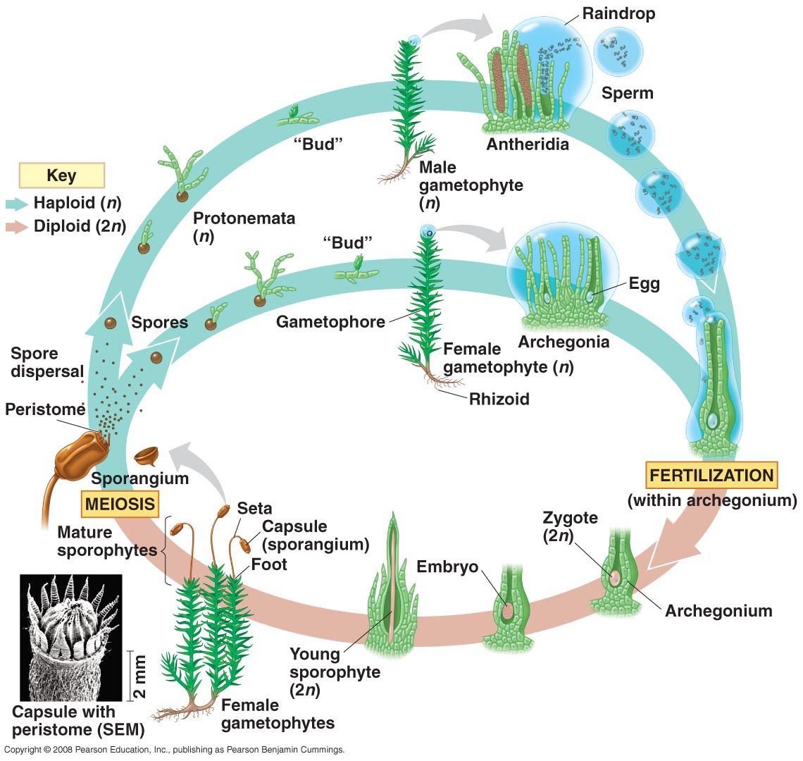 moss life cycle | plant diversity i – bryophytes and seedless