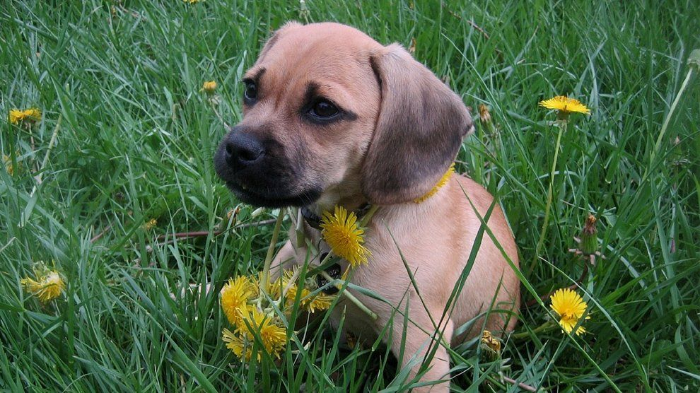 Beagle Mix Puggle Puppies Small Dogs For Kids