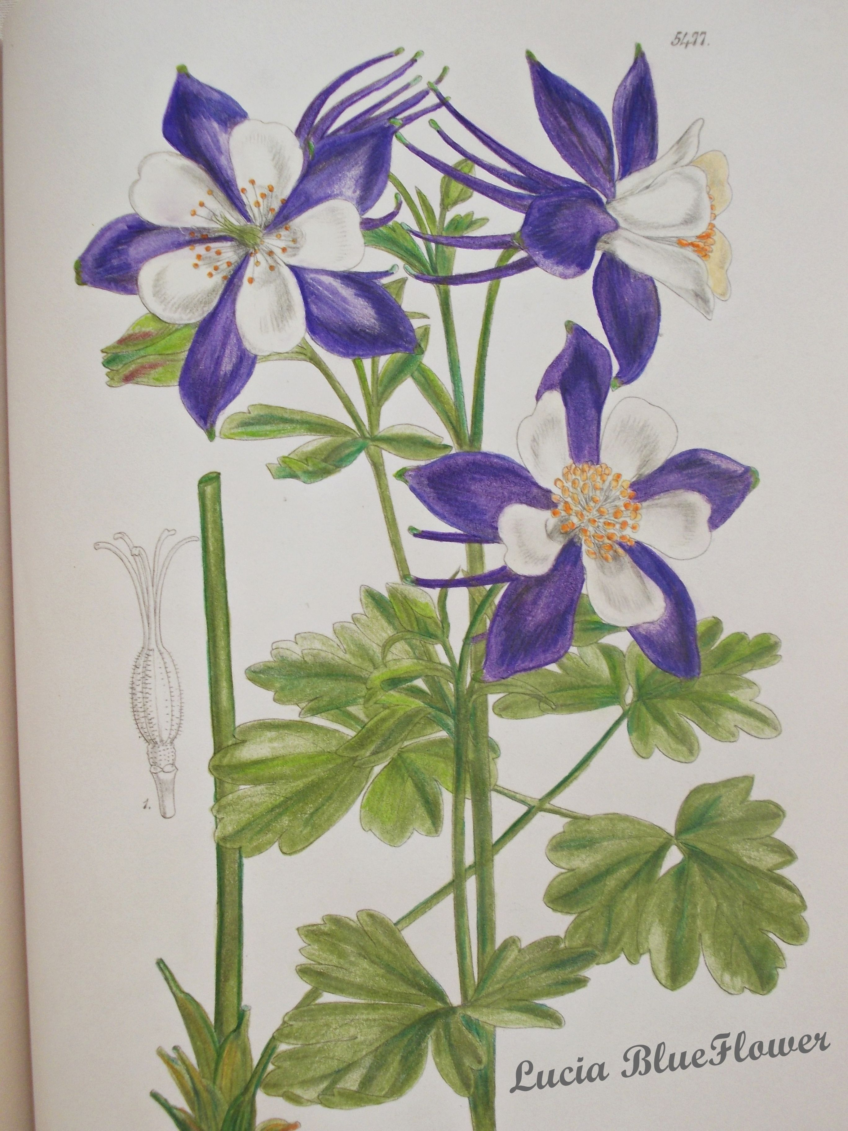 Coloring Books Aquilegia Caerulea Kew GardensFlowering