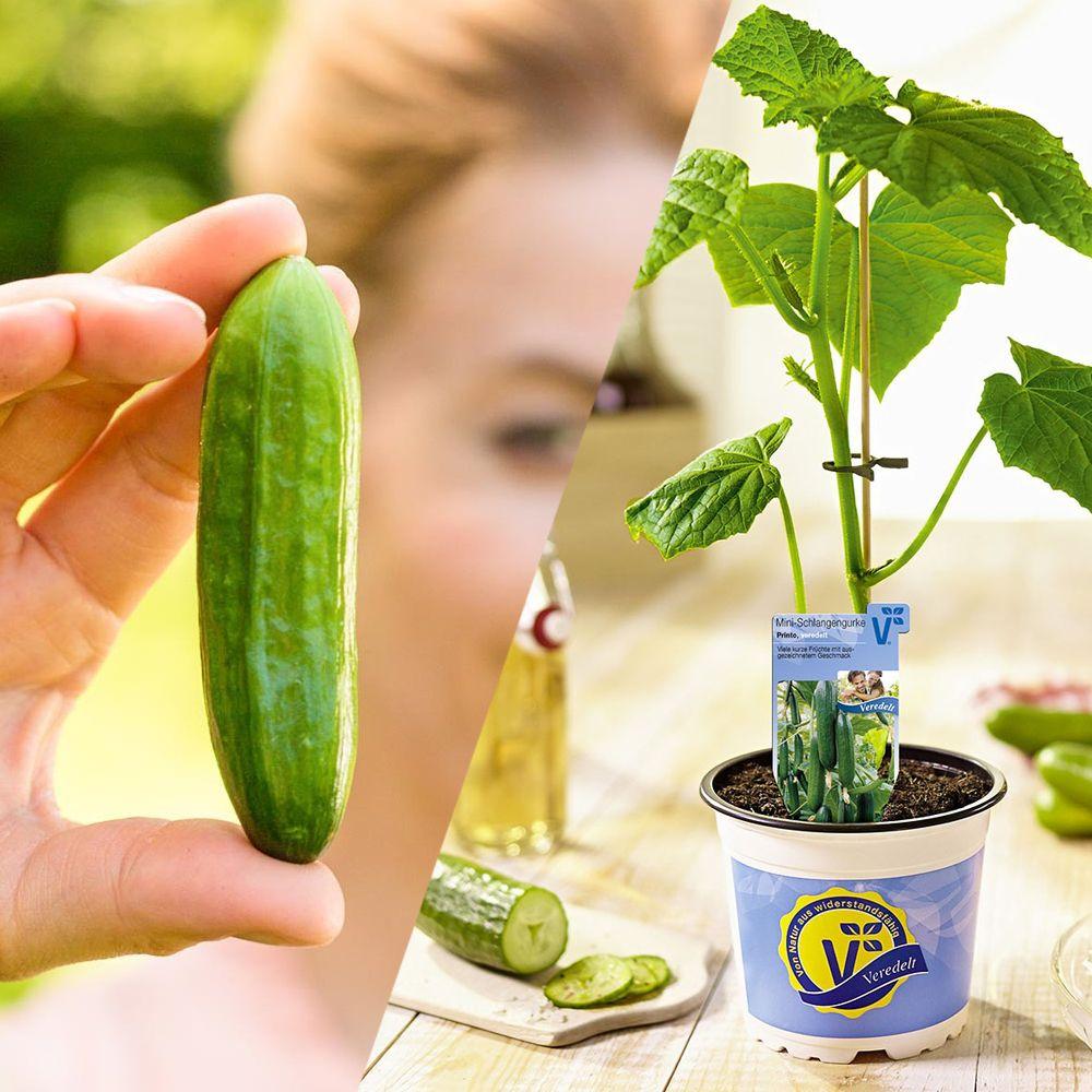 Schlangengurke Snack Gurken Minigurken Gewachshausgurken Freilandgurken Oder Schlangengurken In 2020 Gurkenpflanze Gurke Pflanzen