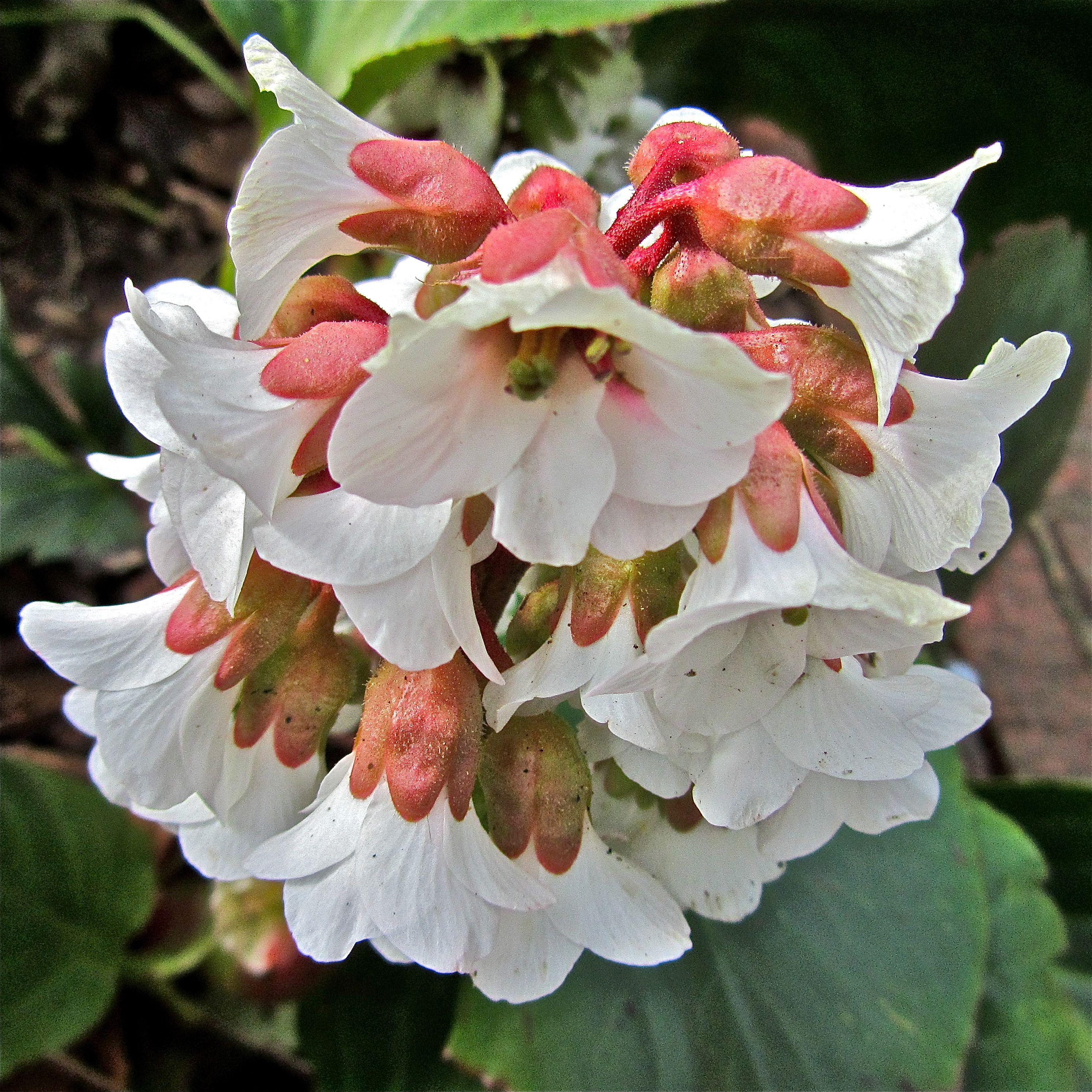Spring Blooms - Rabbit Free