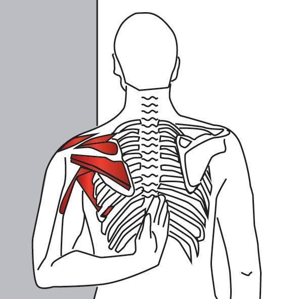 Supraespinoso es uno de los músculos clave involucrados en problemas ...