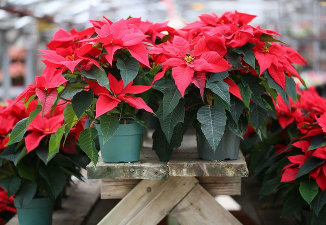 The Dos And Don Ts Of Poinsettia Care Poinsettia Plant Plant Decor Christmas Plants
