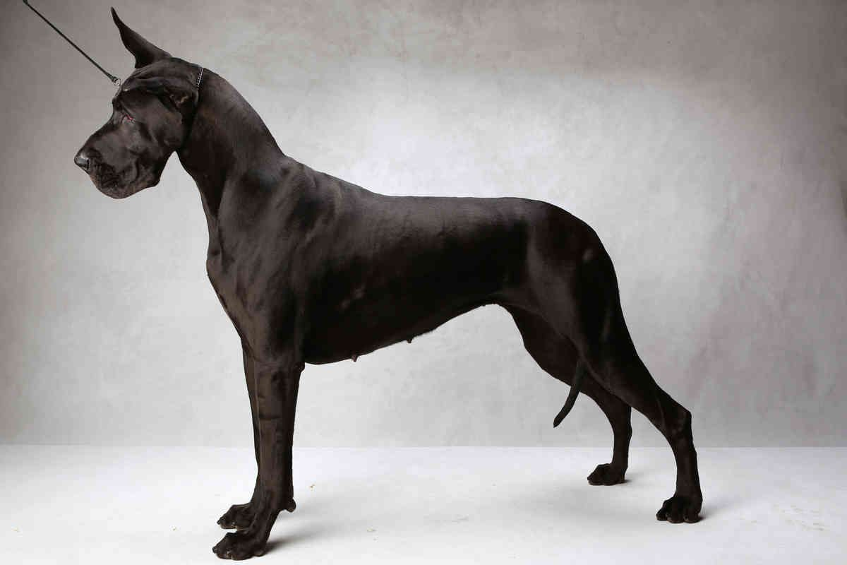 Westminster S Best Of Breed Photographs Nytimes Com Great Dane Great Dane Dogs Dane Dog