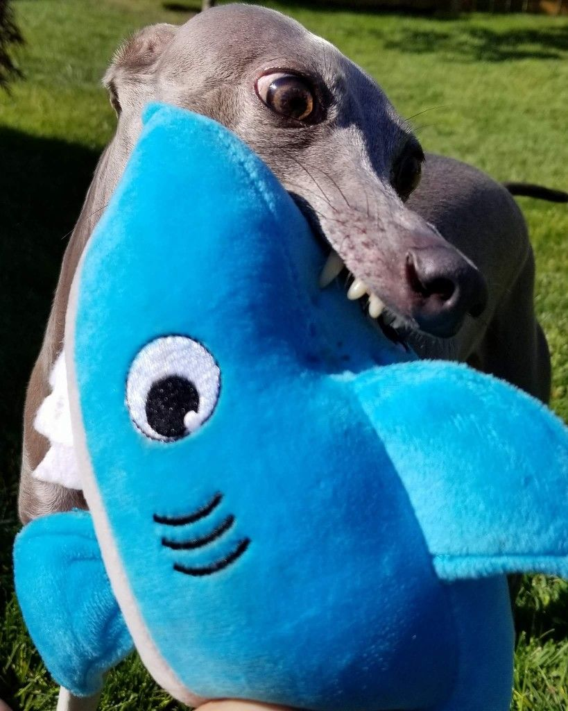 Asher the Italian Greyhound is all about promoting shark