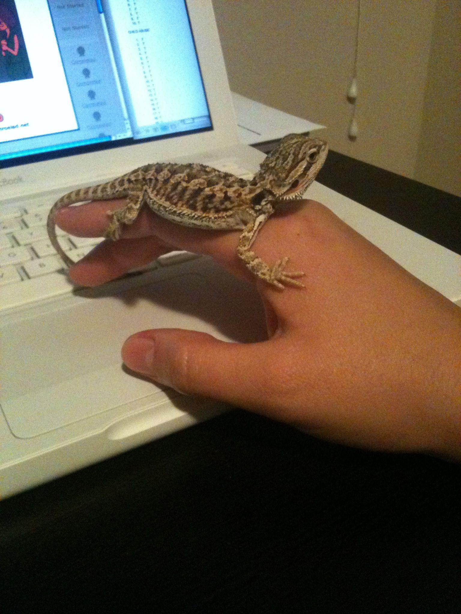 Baby bearded dragon | My Life of Animals | Bearded dragon ...