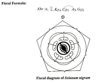 Floral diagram of tomato auto electrical wiring diagram floral diagram of solanum nigrum botany pinterest rh pinterest com floral diagram of tomato flower floral ccuart Gallery