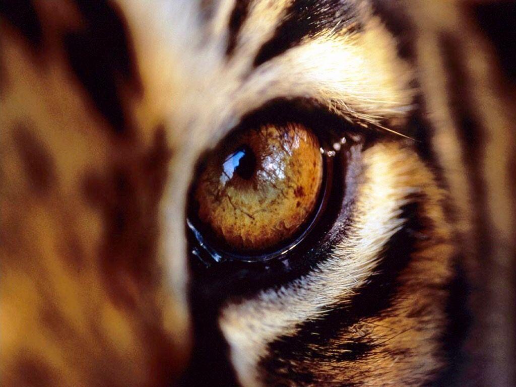 DesertRose,;,eyes,;, Wwf tiger, Animals, Endangered animals