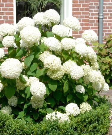 schneeball hortensie 39 annabelle 39 for my white garden. Black Bedroom Furniture Sets. Home Design Ideas
