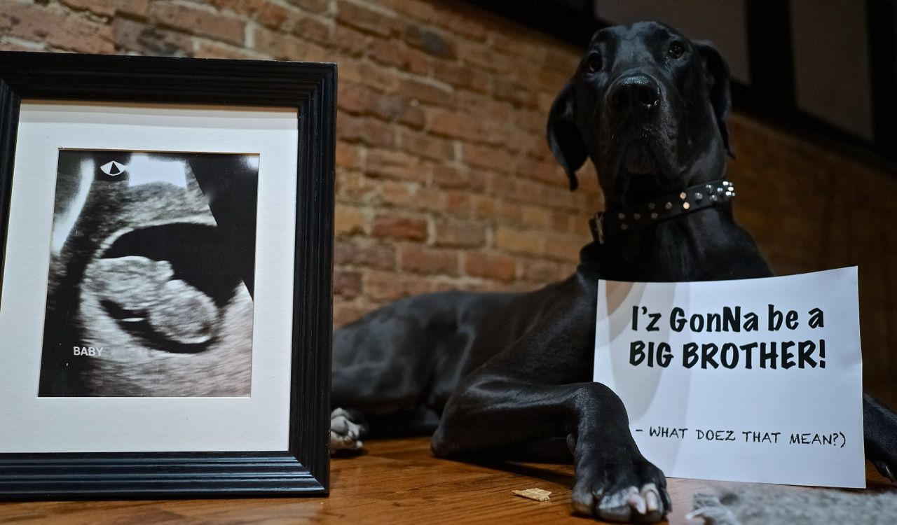 Great Dane Baby Announcement Great Dane Human Babies Dane