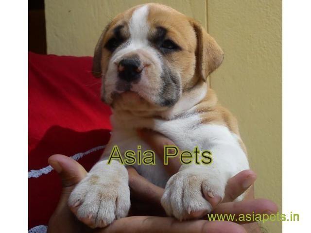 Pitbull Puppies Price In Noida Pitbull Puppies For Sale In Noida Pitbull Puppies For Sale Pitbull Puppies Puppies For Sale