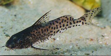Synodontis Nyassae Cichlid Aquarium Cichlids Fish Pet