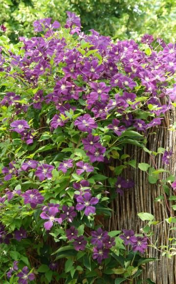 Kleine Gärten harmonisch gestalten Clematis, Gardens and Garten - vorgarten gestalten asiatisch