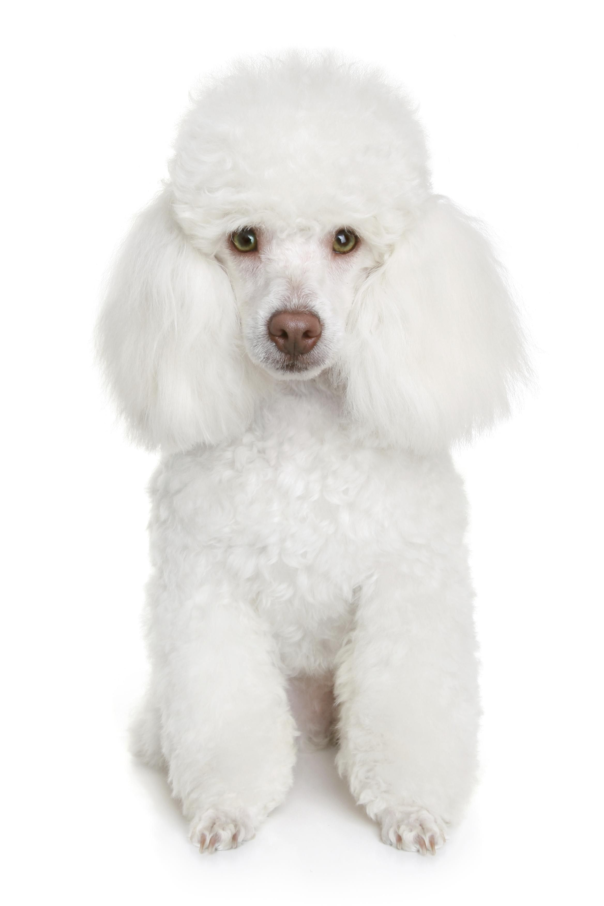 French Poodle Haircut Styles 5 Steps Poodle Haircut Poodle