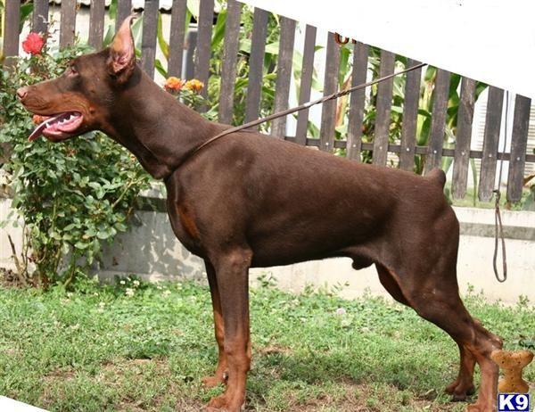 Guardian Unreachables Doberman Pinscher Dog For Sale Doberman