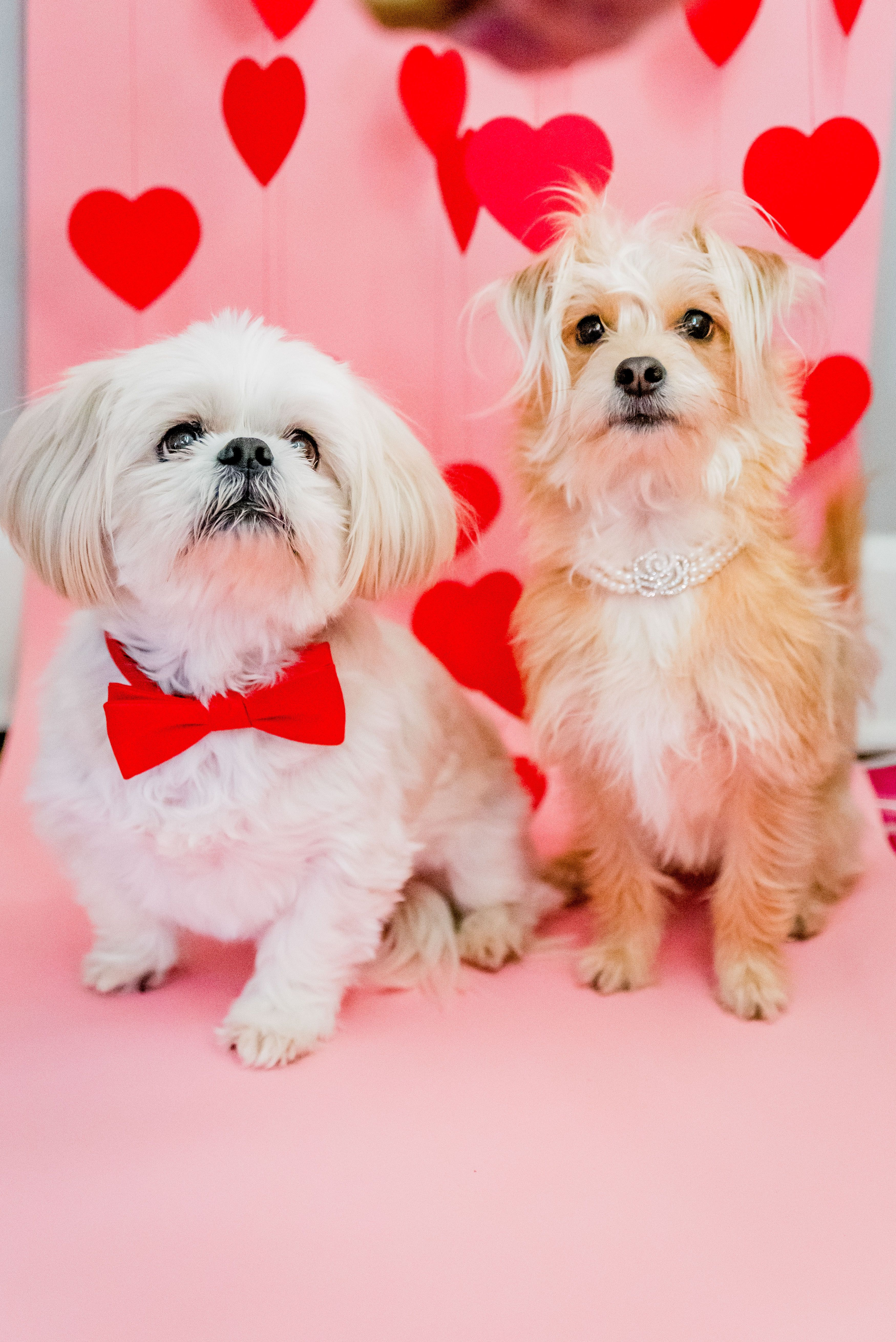 Happy Valentine S Day I Of Course Created A Styled Shoot For My Two Adorable Puppies Cait Potter Creati Dog Valentines Valentines Day Dog Puppy Valentines