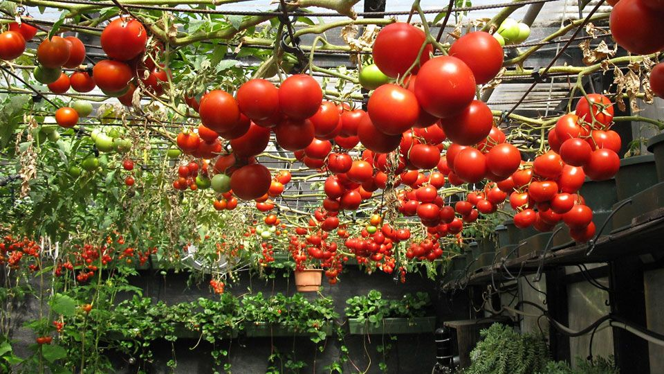 Growing Hydroponic Tomatoes Its Benefits Growing 640 x 480