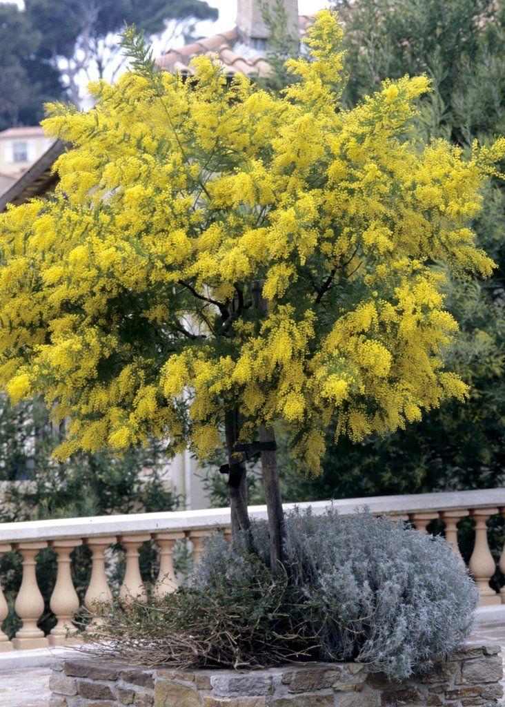 mimosa plantes fleurs arbres et arbustes pinterest bulle verte le dictionnaire et fiches. Black Bedroom Furniture Sets. Home Design Ideas